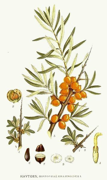 Botanical sketch of the Sea buckthorn berry from the 1800's