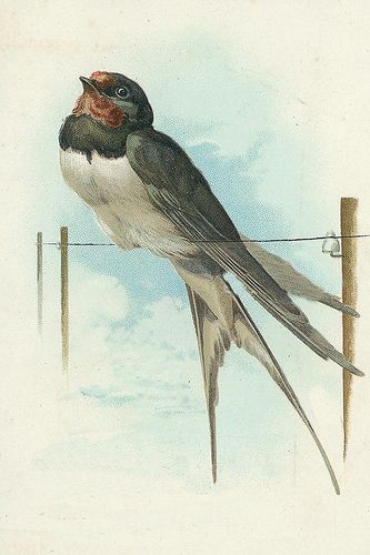 Vintage Postcard ~ Swallow Bird