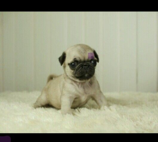17 Best images about Teacup pug on Pinterest | Teacup ...