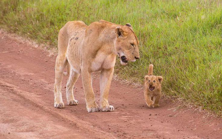 Adorable cachorro mirando el fondo de pantalla de la leona HD: Widescreen: Alta definición: Fullscreen