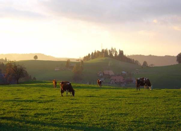 Steirisches Hügelland - Kühe - Weide Einführungsexkursion Steiermark - Ländlicher Raum -
