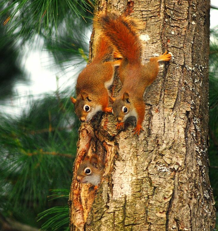 Baby Red Squirrels exploring a tree. | #Squirrels4Good ...