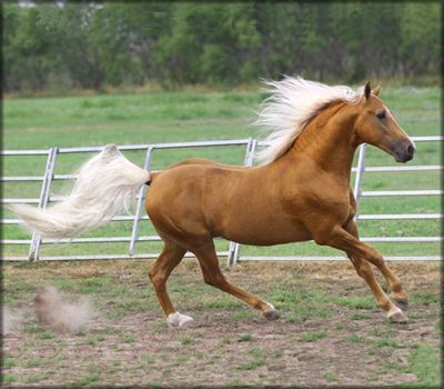 Tennessee Walking Horse Palomino stallion
