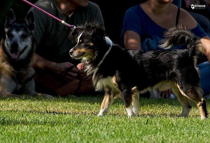 File:Kokoni dog at international dog show in Greece.jpg