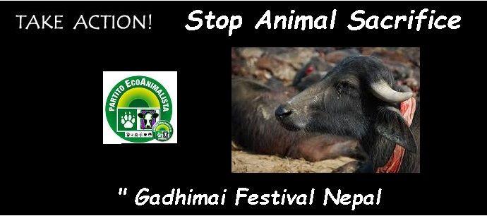 "Stop Animal Sacrifice "" Gadhimai Festival Nepal   https://www.facebook.com/pages/Stop-Animal-Sacrifice-Gadhimai-Festival-Nepal/1452353988337867?ref=ts&fref=ts"