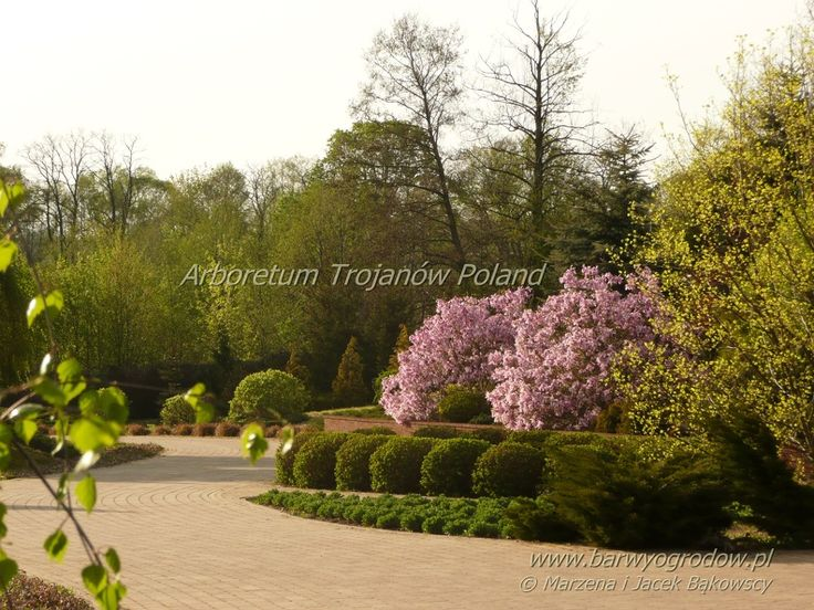 Arboretum Trojanów Poland Magnolia Betty https://www.facebook.com/media/set/?set=a.494154253980904.1073741835.493957547333908&type=3