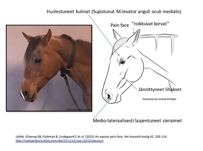 Hevosen kivun tunnistaminen (suomeksi)