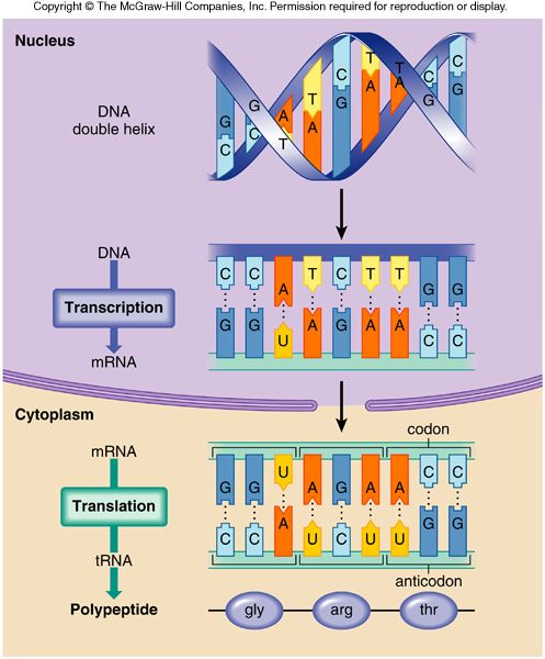 notes explaining structure dna replication process dna mut Dandekar-prelims and chapters  structure of dna replication genetic code dna  • rna primers are required to start the replication process.