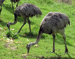 Rheas are only from South America and are grassland birds that prefer open plains.