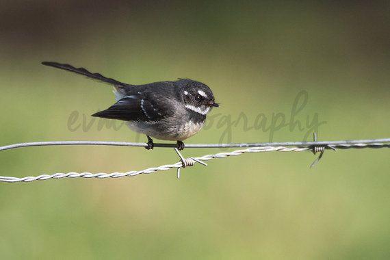 *******DIGITAL INSTANT DOWNLOAD*******  This is an original photograph of a Grey Fantail, taken by EVM Photography.  This file is available