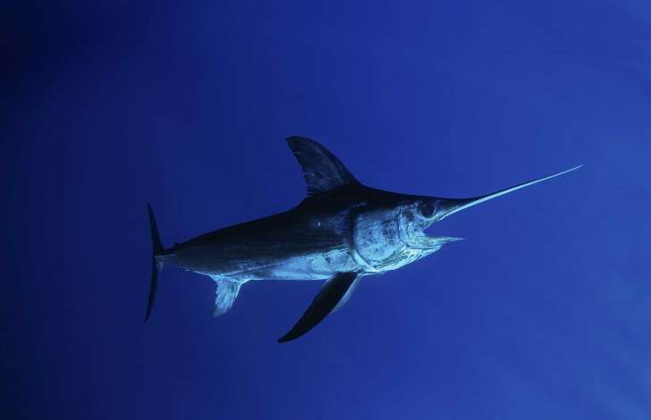 ¿Por qué un pez espada apuñaló a un pescador?