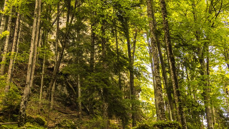 Forest in the Carpathians -