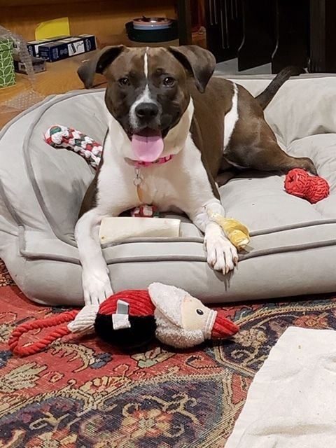 Adopt Snookie Ab A Real Sweetheart On Pitbull Terrier Paws