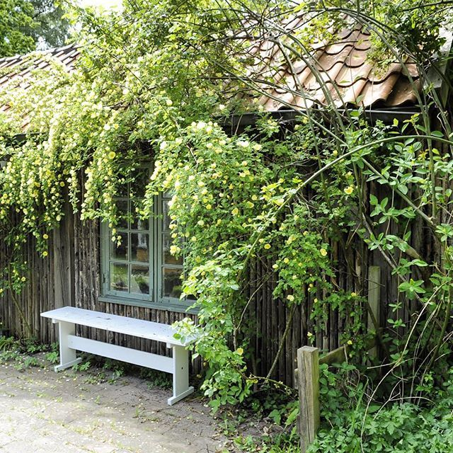 The guest house is covered with a hanging rose named Hugonis. #roses #rosehugonis #garden #gardening #jettesgarden #gardenvisits #jettefrölich #jettefroelich #jettefrölichdesign #jettefroelichdesign #danishdesign #gardendesign
