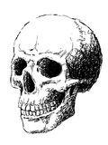 Vista lateral do crânio Fotos de Stock