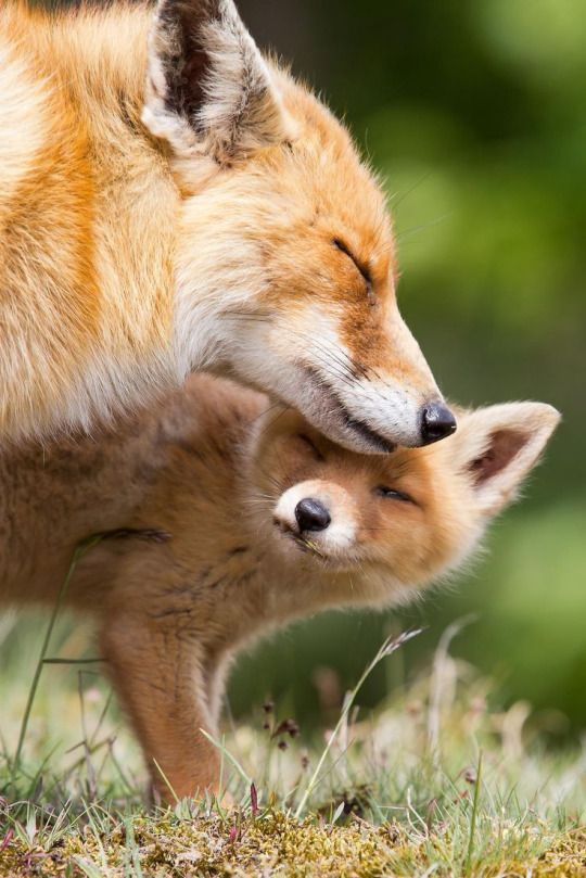 Fox and kit, (cub or pup)                                                                                                                                                     More