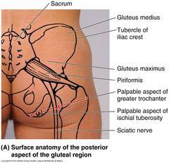 surface anatomy ha11308 flashcards | Quizlet