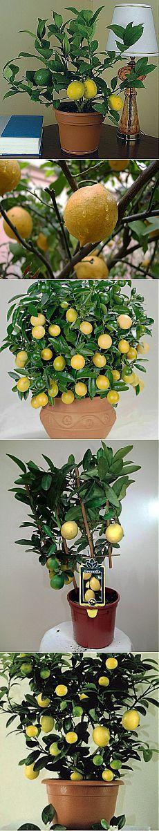 Комнатное растение лимон: выращивание и защита от вредителей | Женская книга