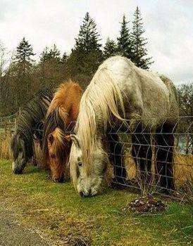 Older Draft Horses