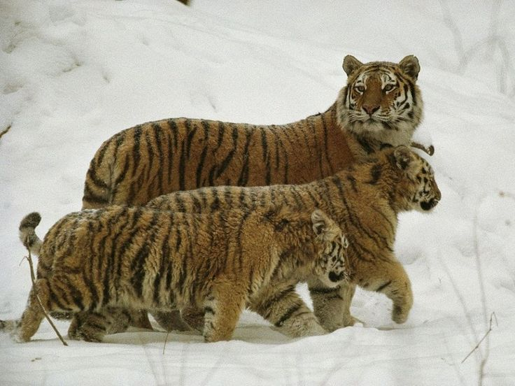 Siberian Tigers (Photograph by Michael Nichols)  Of the three remaining species of tigers, Siberian tigers are the largest. While there are only 400 to 500 left in the wild, the population is considered stable, and conservation programs are introducing captive-born tigers to the wild.