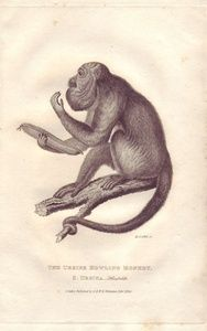 The Ursine Howling Monkey, S.Ursina_Humboldt. | Sanders of Oxford