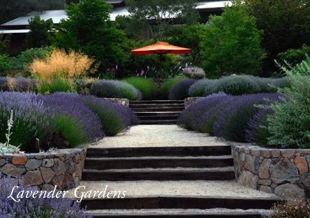 Matanzas Creek winery and lavendar gardens - Sonoma, CA: Lavender Gardens, Creek Lavender, Gardens Matanzas, Winery Lavender, Matanzas Creek, California Wineries, Www Matanzascreekwinery Com, Creek Winery First