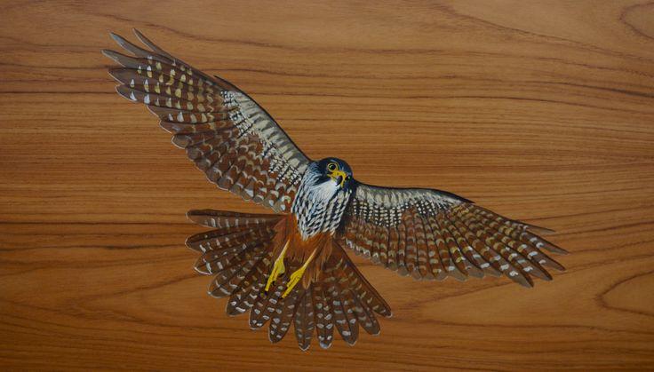 Karearea, New Zealand Falcon