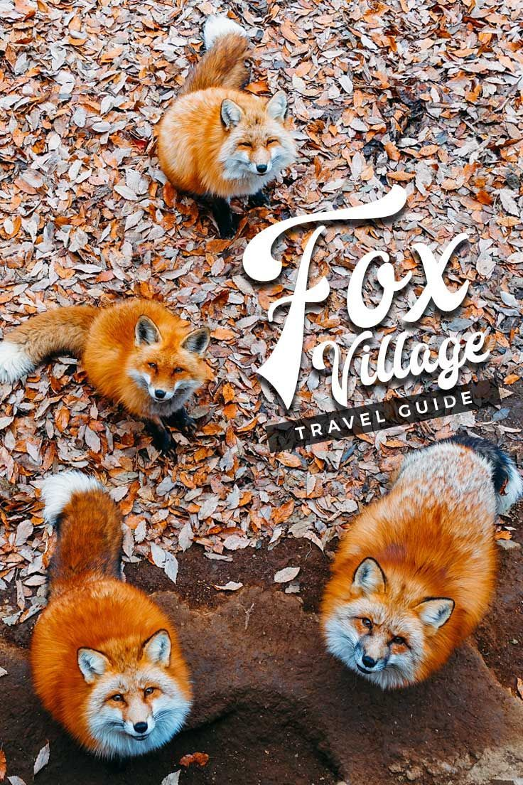 Wanna see a hundred of adorable free-roaming foxes up close? Head on over to Japan's magical Fox Village with the help of this travel guide!