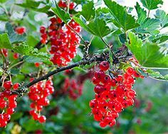 Sträucher Bäume schneiden | Garten  weiße und rote Johannisbeeren schneiden