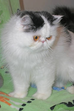 "Tiny ""Teacup"": Blue-eyed Seal-point w/White Himalayan MaleCats Kittens Fuzzy Obsession, Sh Cats Kittens Fuzzy, Himalayan Kittenscat, Sh Cat Kittens Fuzzy, Persian Cat, Cat Kittens Fuzzy Obsession"