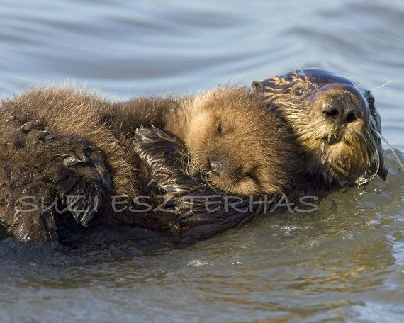 picture of baby sea otter | Nursery Art, BABY SEA OTTER and Mom Photo- 8 X 10 Print - Baby Animal ...