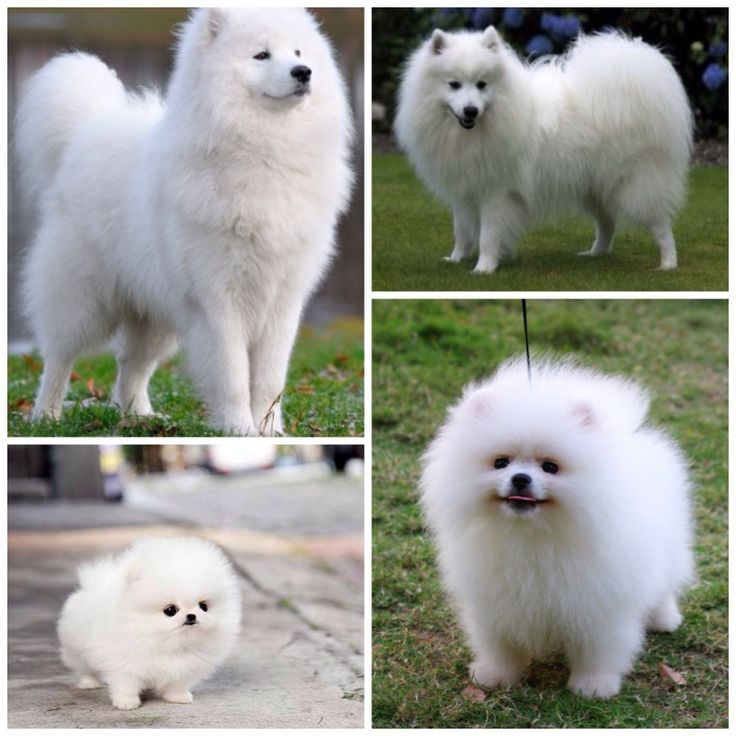 pomeranian samoyed mix samoyed pomeranian mix 7488