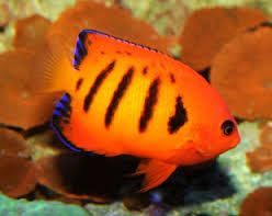 Výsledek obrázku pro mořské akvarijní ryby
