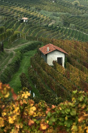 """Barolo vineyards in Piemonte, Italy. """"2010 is a vintage for Nebbiolo lovers"""" A Classic in the Making: Barolo Wine"""