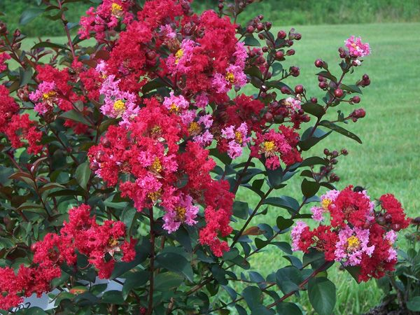 princess zoey crapemyrtle from garden debut - Home Gardening Club