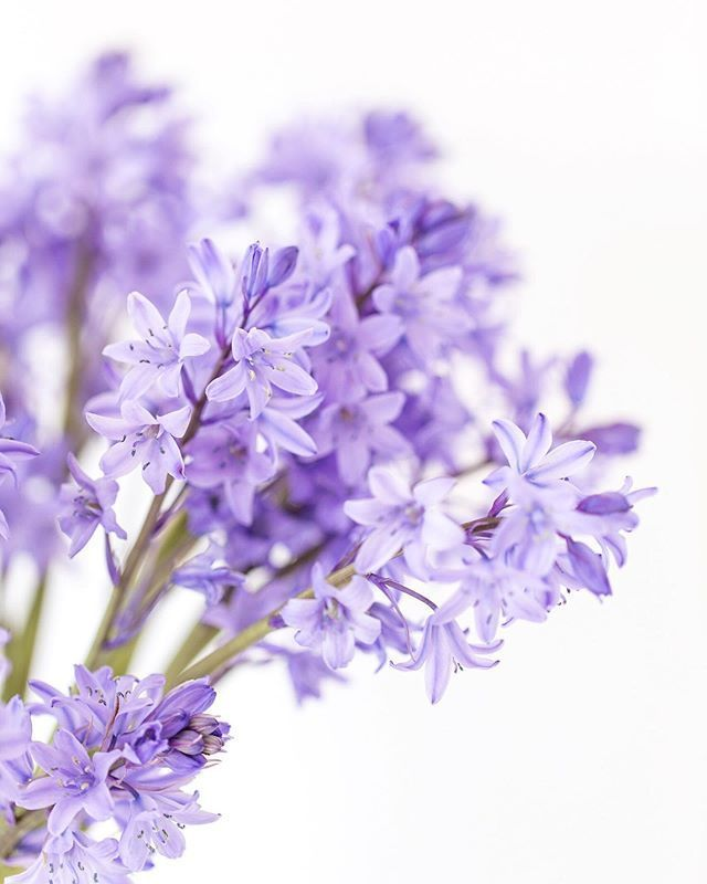 Close Up Of Bluebells Against A White Background Beautiful Simplicity By Zoe Power Zoepower On Purple Flower Background Flower Backgrounds Pastel Aesthetic
