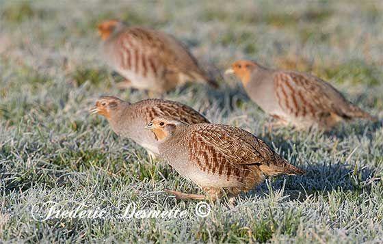 Grey partridge,