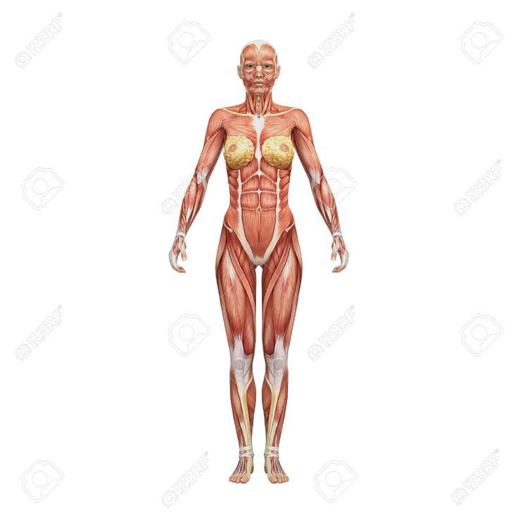 Mejores 38 imágenes de Anatomía   Musculos en Pinterest   Anatomía ...