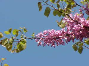 The Eastern Redbud is the state tree of Oklahoma.
