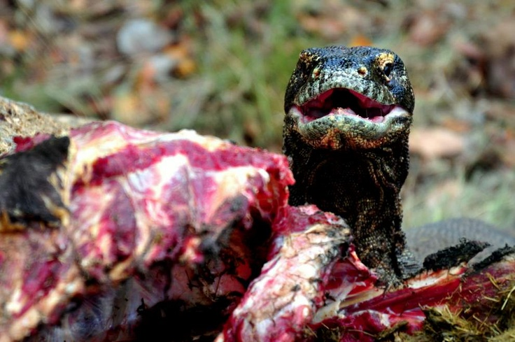 Dragon from Comodo Island (Indonesia)