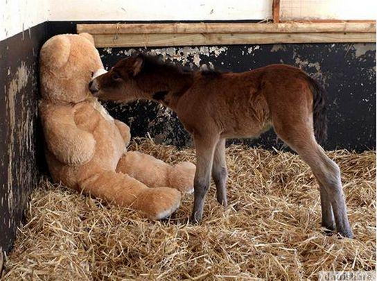 Kisah bayi kuda berinduk bonekah...