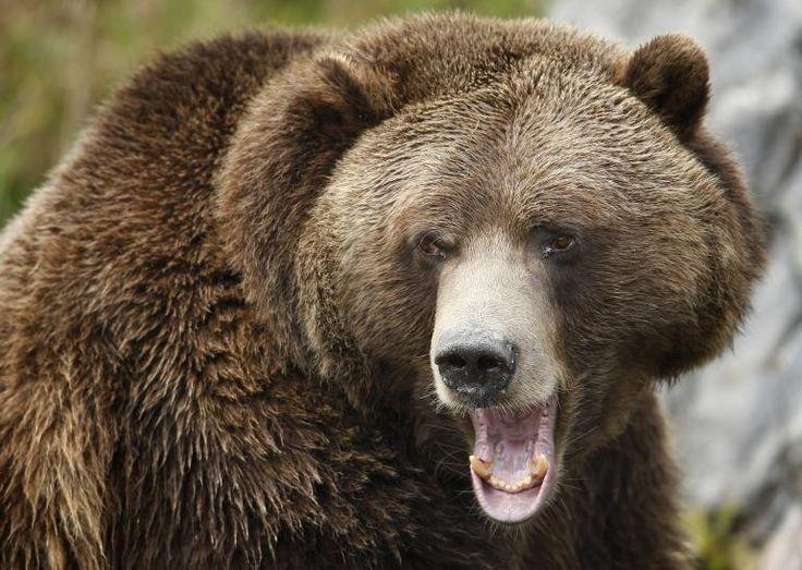 63 besten Bear Bilder auf Pinterest | Braunbären, Tieranatomie und ...