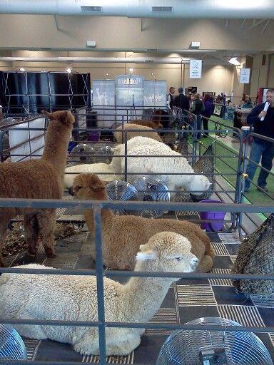 Wisconsin alpaca and fiber festival