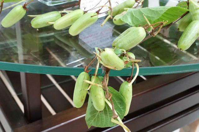 Чем хороша актинидия и как её вырастить?