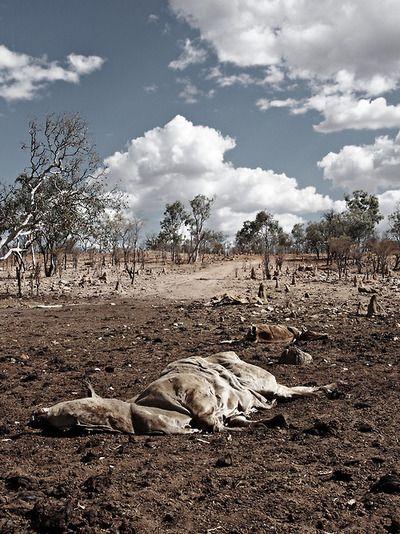 RIP - Dead cows - Georgetown farm - 2013