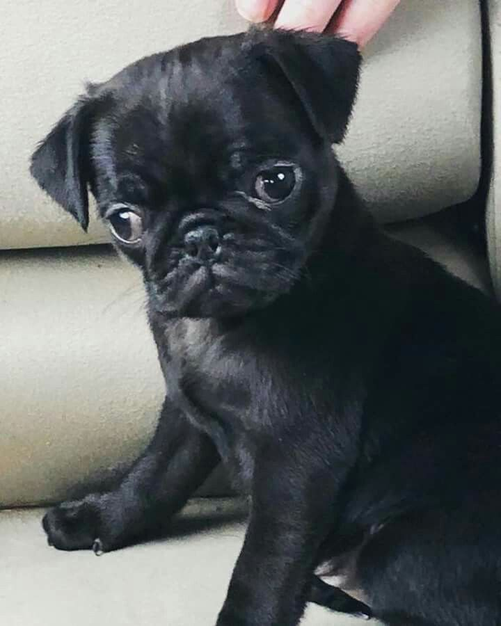 Bug The Pug Puppies Pugs Cute Dogs