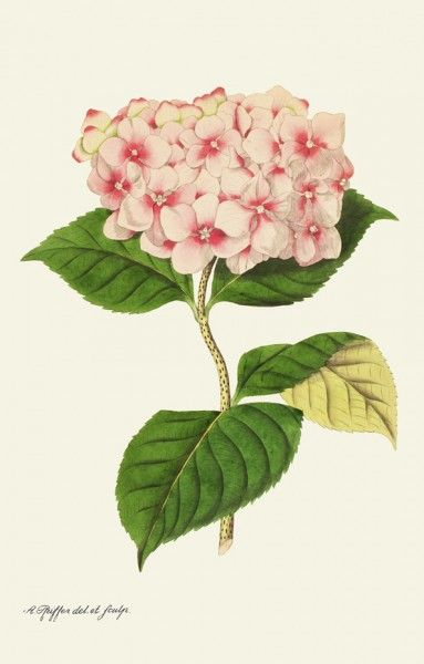 """""""Hortensia"""" – beautiful flower and now you can have it as a blind, tablecloth or illustration ♡"""