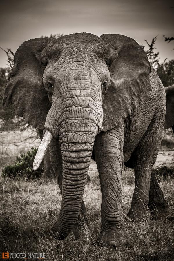 500px / Photo Male Elephant by Alex Felez Buchholz