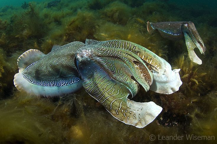 Giant Cuttlefish @ Whyalla
