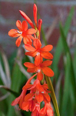 Watsonia pillansii - Beatrice watsonia